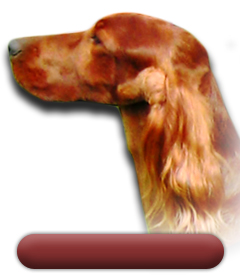 Irish Red Setters