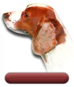 Welsh Springer Spaniels
